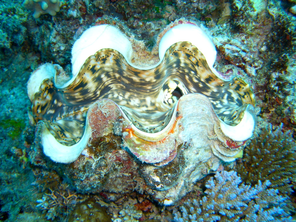 Shells and oysters among the corals in Fiji