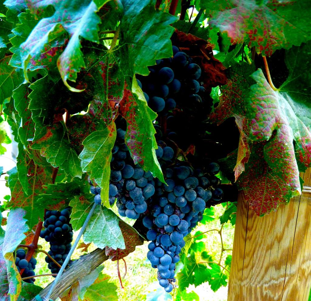 AtlaVita Winery, Cesena, Italy