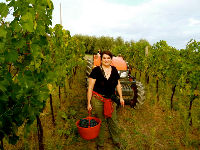 Grape harvesting at AtlaVista Winery, Cesena, Italy