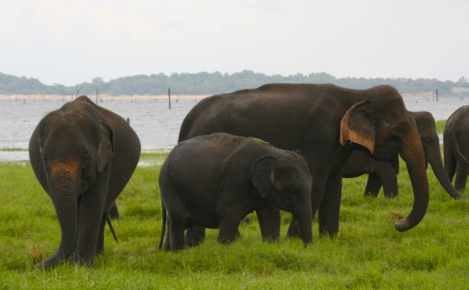 Asian Elephants in Sri Lanka