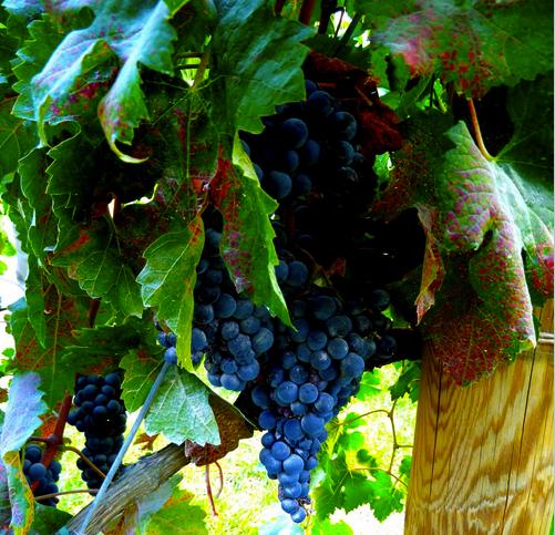 Grape vine, French Wine Regions