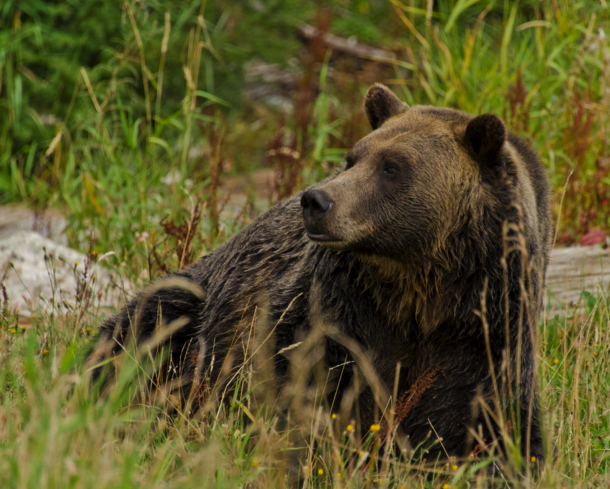 Brown Bear, Canadian Rockies Train, Rocky Mountaineer Train Trip, Canadian rockies by Rail