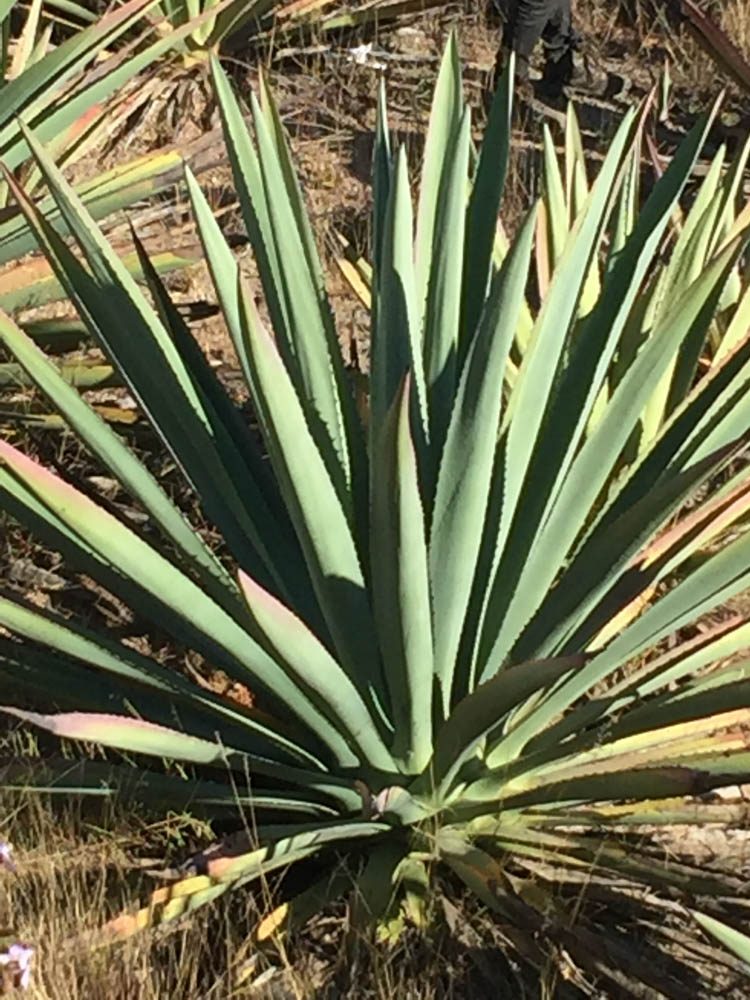 Oaxacan, mezcal, agave plant, maguey plant