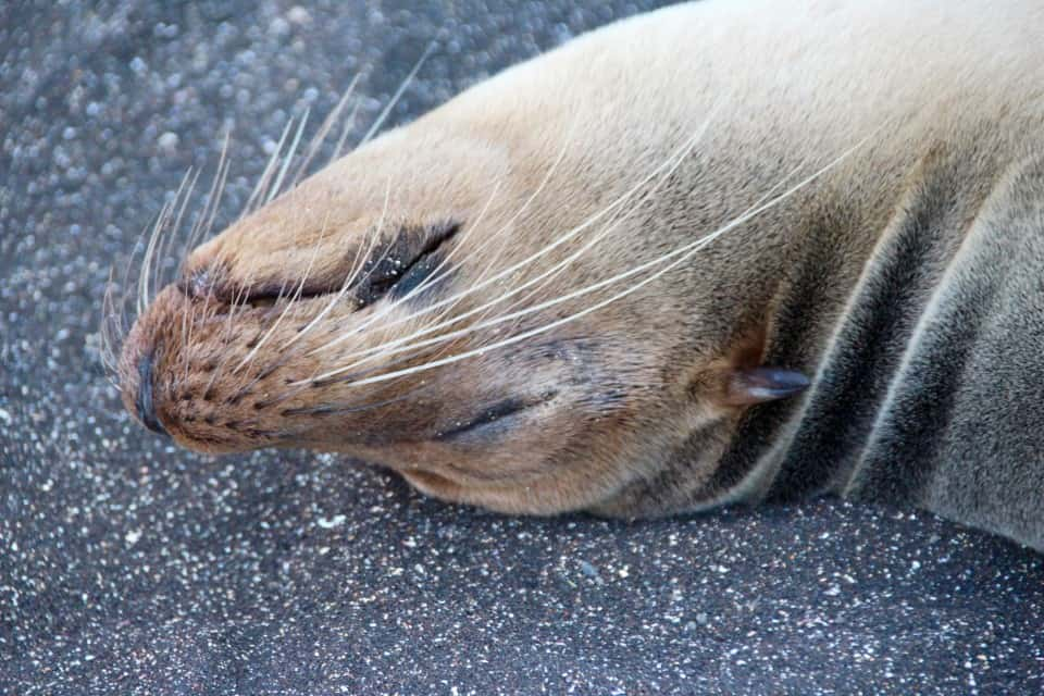 galapagos sea lion, The Galapagos Islands: An Archipelago Like No Other on Earth, Eclipse Yacht, Adventure Smith Explorations, Photo by PointsandTravel.com