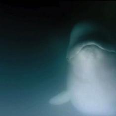 Beluga Whales and Me