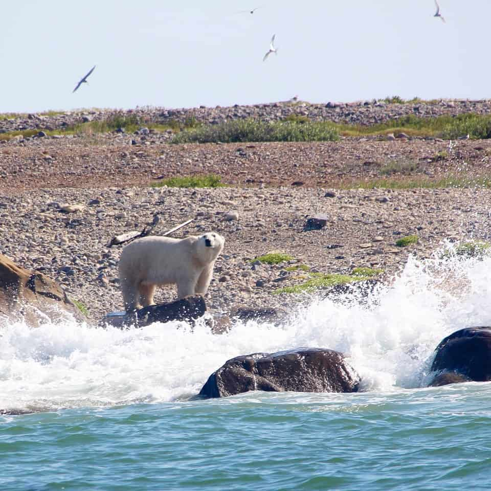Beluga Whale and Polar Bear Safari: Churchill Manitoba
