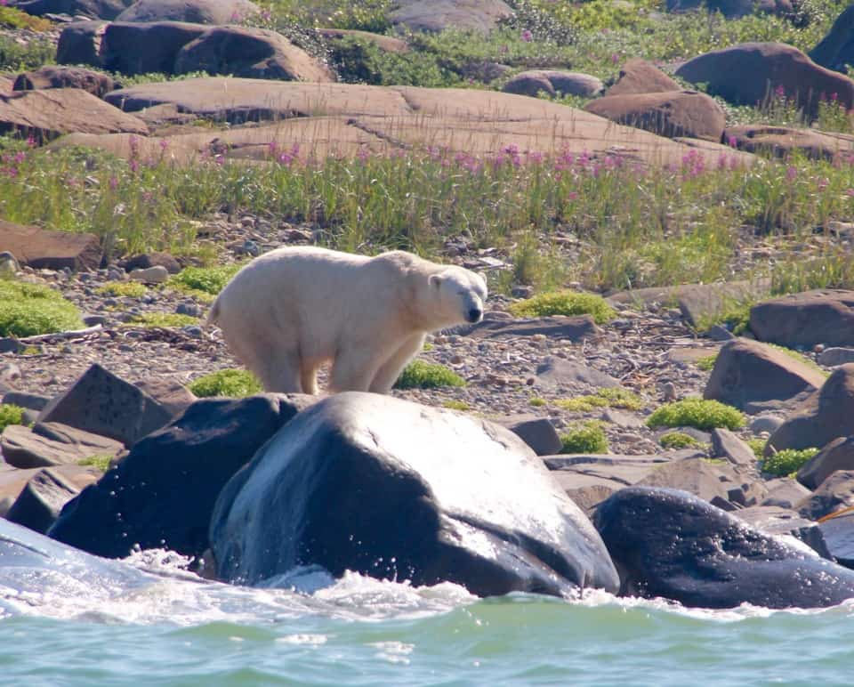 Come along with me as I snorkel with Beluga whales and go on a safari with polar bears.