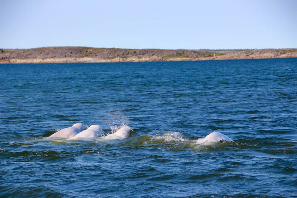 beluga baby, diving with whales, swimming with whales, whale watching canada