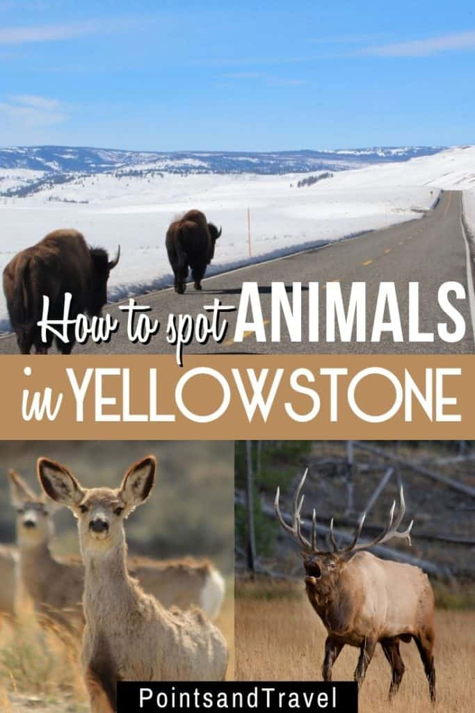 How to spot animals in Yellowstone, A wildlife guide to Yellowstone, #Yellowstone #Montana #animals #wildlife