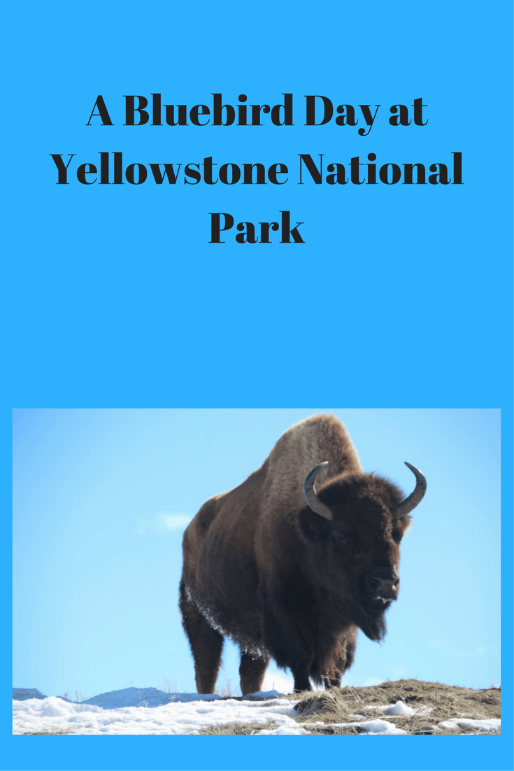 "Come along with me as I enjoy a ""bluebird day"" at Yellowstone National Park and see the animals of Yellowstone National Park."
