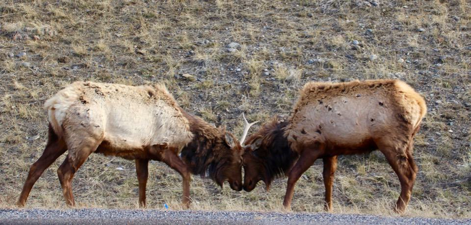 """Come along with me as I enjoy a """"bluebird day"""" at Yellowstone National Park and see the animals of Yellowstone National Park."""