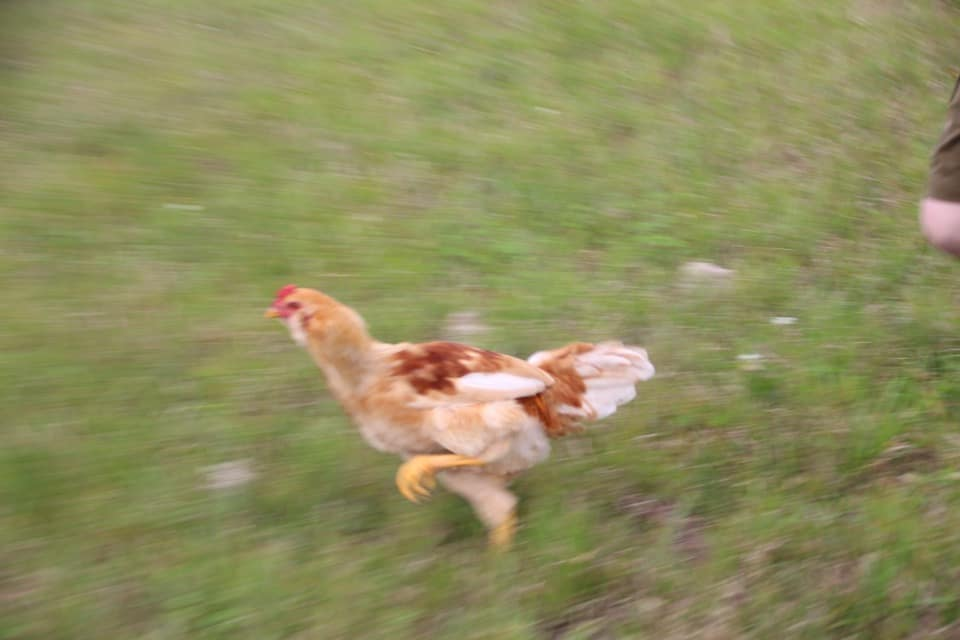 Have you ever seen a chicken on the run? Near Lake Charles, Louisiana you will find one or two in the Iowa Chicken Run!