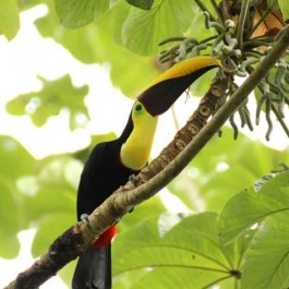 toucan, Costa Rica National Parks