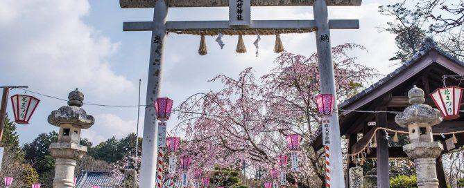 sakura bloom, sakura, cherry blossom festival, Japanese cherry blossom tree