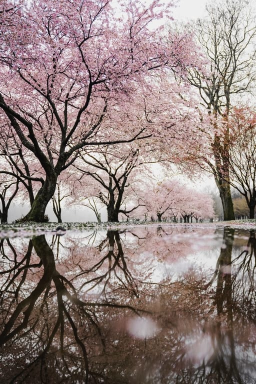 Cherry blossoms meanings, cherry blossoms quotes, cherry blossom branches, cherry blossoms after winter, cherry blossom symbolize, cherry blossom symbolize, cherry blossom festivals, Cherry blossoms d c #CherryBlossoms #Spring #flowers