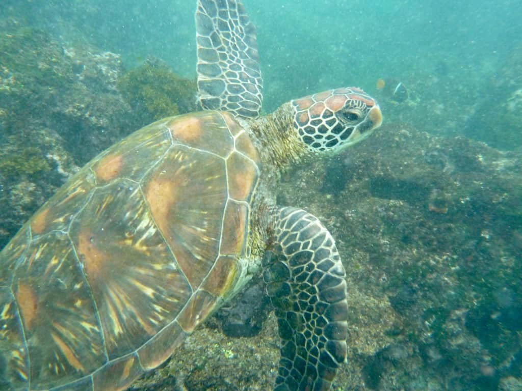 Galapagos scuba diving, scuba diving Galapagos, Galapagos Islands scuba diving, scuba Galapagos, Galapagos dive, dive Galapagos, diving Galapagos, Galapagos islands diving, Galapagos islands diving, #Galapagos #scuba #Diving #Ecuador