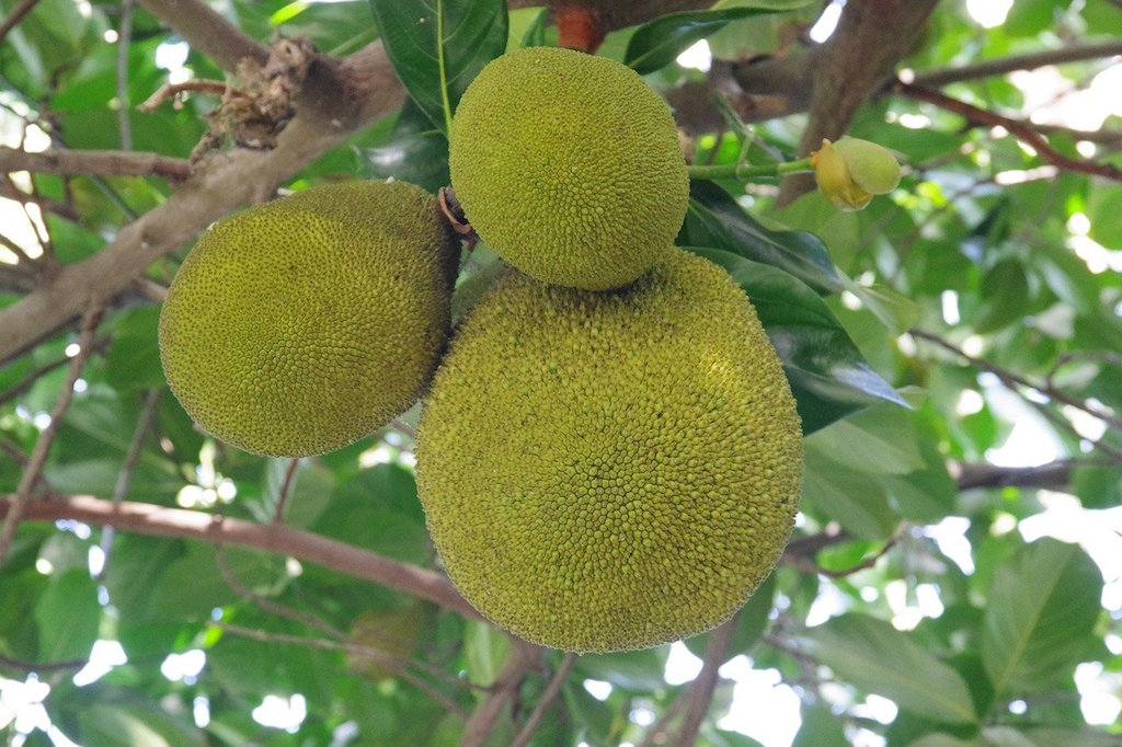 Breadfruit,Jamaican Food, Jamaican dish, Jamaican cuisine