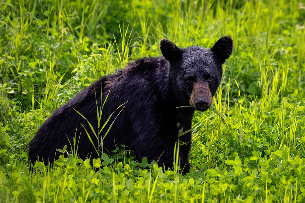 Cub bear with a brown muzzle