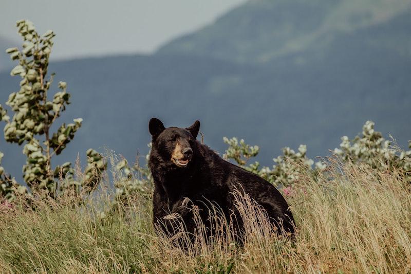 Dark brown bear with a mountain behind him