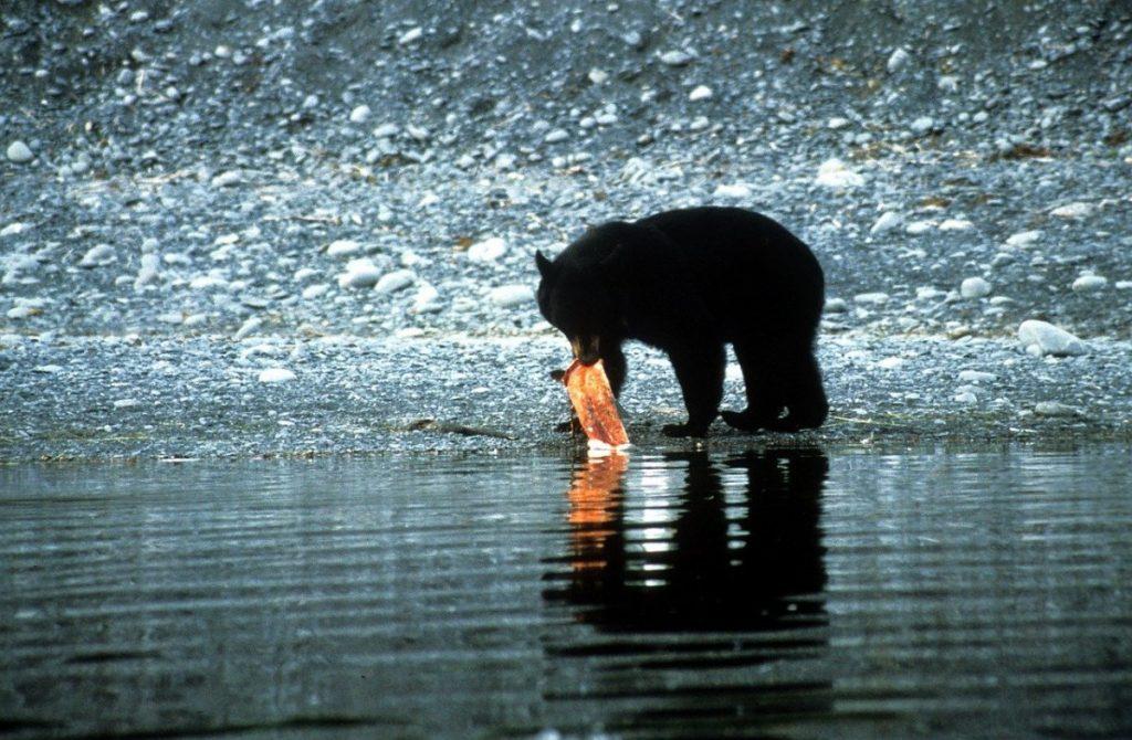 Black bear with a salmon
