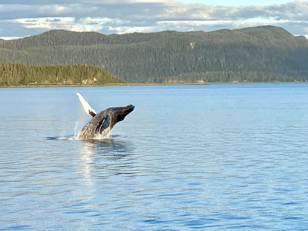 Breached Whale in Alaska