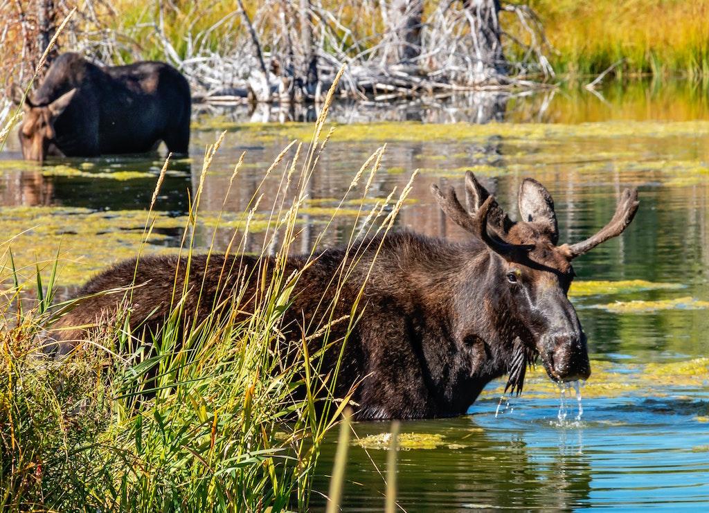A few Moose in Grand Tetone, WY