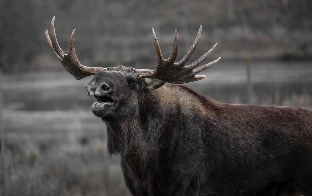 Moose in Yellowstone