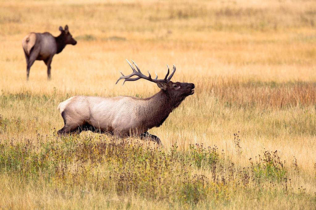 Two Moose in Yellowstone Wyoming